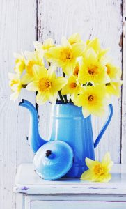 2180 181x300 - Narcissus daffodils in vintage coffee pot