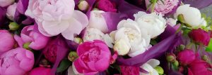 Snell peonies 300x107 - Snell-peonies